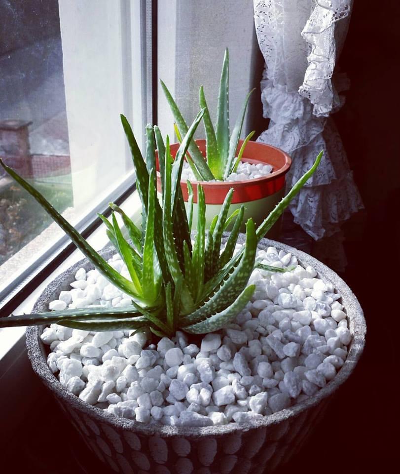 indoor aloe vera plants